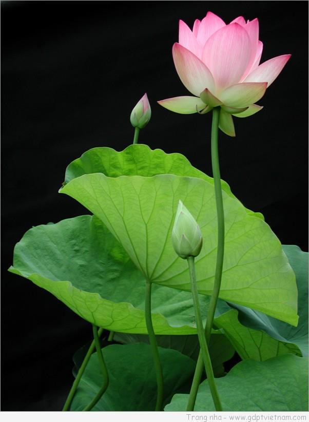 Góc vườn Lam                                                             VĂN NGHỆ CỦA GĐPT VN  TRONG VĂN HÓA PHẬT GIÁO GIỮA THỜI KỲ HỘI NHẬP.                     Như Lạc  TRẦN VĂN CƯ-ủy viên Văn Nghệ GĐPTTW